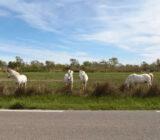 France Provence Camargue horses