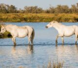 France Provence Camargue horses