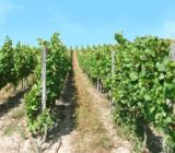Rüdesheim vineyards