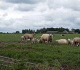 Sheep in field near Spakenburg
