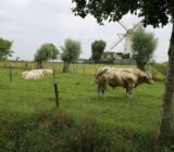 Windmill and bull
