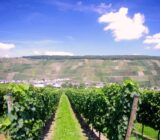 Wine grapevines