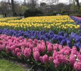 Hyacinths Keukenhof