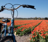 BBT bike and tulip field