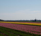 Egmond tulip field