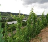 Cochem Metz Mosel vineyards
