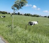 Flemish countryside blue cow