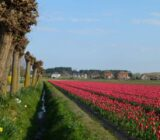 Tulips close to Egmond