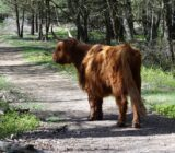 Veluwe Scottish Highlander
