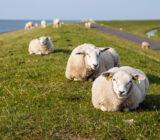 Sheep in Friesland