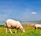 Friesland sheep grazing dike