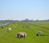 Sheeps in the middle of Friesland
